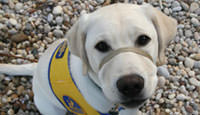 Assistance Dogs: Photo of Assistance Dog
